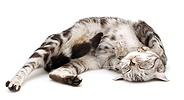 Silver tabby cat asleep on her back