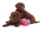 Chocolate Labrador Retriever pups