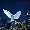 Barn Owl landing on fence post