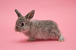Silver baby rabbit