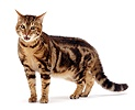 Brown Bengal cat in aggressive stance