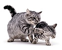 Silver tabby mum swipes offspring
