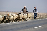 Two men walking sheep along the road