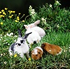 Guinea piglets and rabbits grazing
