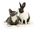 Blue Dutch rabbit and Oriental type cat