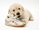 Golden Retriever pup chewing a child's shoe
