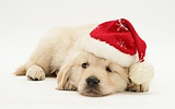 Golden Retriever pup wearing a Santa hat