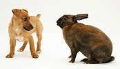 Puppy with fierce dwarf Rex rabbit