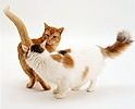Calico and ginger cats sniffing one another in greeting