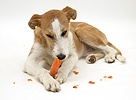 Lurcher chewing a carrot