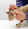 Applying flea treatment to a cat
