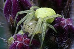 Spider on comfrey