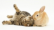 Tabby cat and rabbit