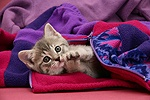 Tabby kitten in child's fleece.