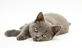 British Shorthair blue kitten