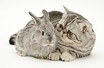 Silver Exotic cat and silver baby rabbit