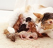 Calico cat licking her newborn kittens