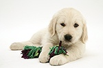 Golden Retriever pup chewing a ragger
