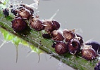 Aphids killed by parasitic wasps