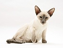 Blue-point Siamese cat