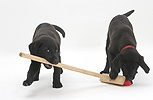 Two Black Labrador pups playing with a child's broom