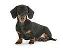 Black-and-tan miniature Dachshund sitting