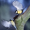 Great Tit and Blue Tit arguing