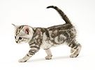 Silver tabby shorthair kitten walking across