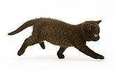 Black British Shorthair kitten running across