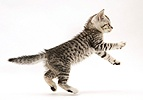 Silver spotted shorthair kitten leaping