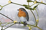 Robin on mistletoe