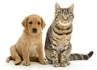 Retriever pup and tabby cat