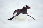 Gentoo Penguin sliding on its belly
