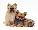 Pair of Pomeranian puppies