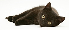 British Shorthair black kitten