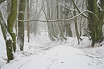 Snowy beech and oak woodland