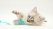 Playful sepia tabby-point Birman-cross kitten