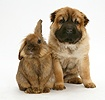 Shar Pei pup and Lionhead rabbit