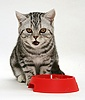 Silver tabby cat eating from a red plastic bowl