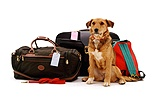 Dog waiting beside holiday luggage