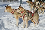 Harnessed Huskies ready for sledding