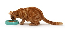 Ginger female cat sniffing her food