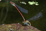 Large Red Damselflies mating and laying eggs
