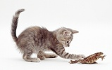 Blue tabby kitten playing with a toad
