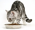 Silver tabby cat with dry cat food in a stainless steel bowl