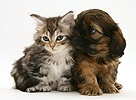 Cavazu puppy with tabby Maine Coon kitten