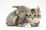 Rabbit and Maine Coon kitten