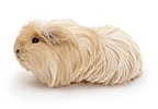 Cream longhaired Guinea pig