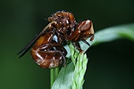 Thick-headed Fly roosting
