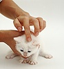 Applying ointment to ringworm on a kitten